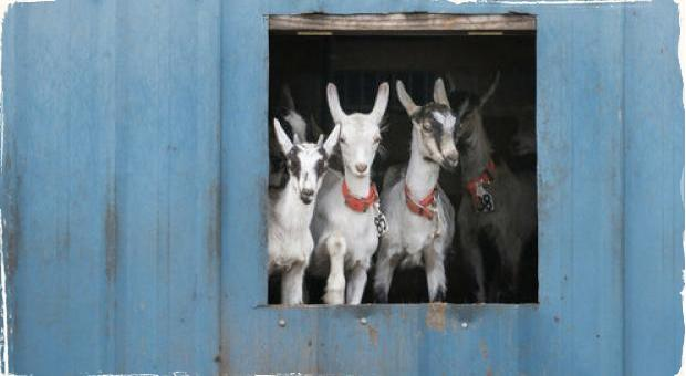Aj kozy majú rady jazz: Kvôli lepšiemu syru im ho na kalifornskej farme púšťajú denne